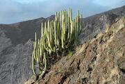 Euphorbia canariensis Tenerife 2012