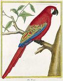 Lesser Antillean Macaw