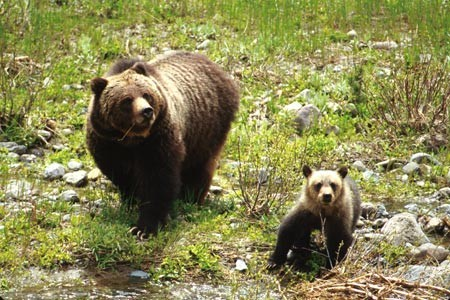Grizzly Bear sow and cub in Shoshone National Forest