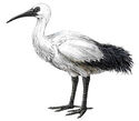 Réunion Ibis