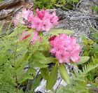 Rhododendron macrophyllum biscuit june 2005