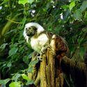 Lisztaffe - Cottontop Tamarin - Saguinus oedipus