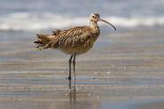 Long-billed curlew at Drakes Beach, Point Reyes