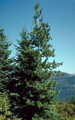 Pinus monticola Idaho