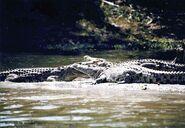 Liwonde NP crocodiles