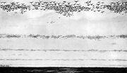Flock of passenger pigeons
