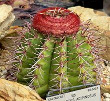Melocactus acipinosus 1