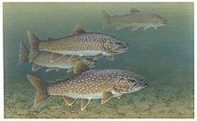 Lake trout fishes salvelinus namaycush