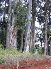 Starr 031002-0027 Eucalyptus globulus