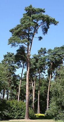 PinusSylvestris