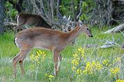 Shenandoah deer 20050521 191017 1.3008x2000
