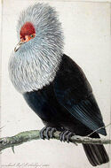 Pigeon Hollandais