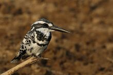 Pied kingfisher (Ceryle rudis leucomelanurus) male
