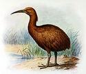 Extinctbirds1907 P29 Aphanapteryx bonasia0349AA