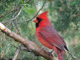 Kardinal (lind)