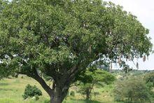 Kigelia africana Wernfried