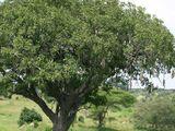 Vorstipuu