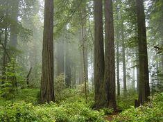 Redwood National Park, fog in the forest
