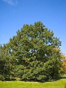Quercus velutina 001