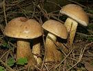2006-09-14 Tylopilus felleus crop.jpg