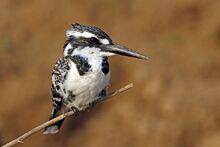 Pied kingfisher (Ceryle rudis leucomelanurus) female