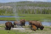Bison near a hot spring in Yellowstone-750px