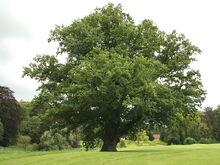 Quercus robur JPG (d1)