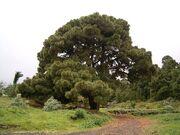 Pinus canariensis (Santa Cruz) 01 ies