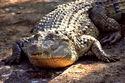 Crocodylus mindorensis by Gregg Yan 01