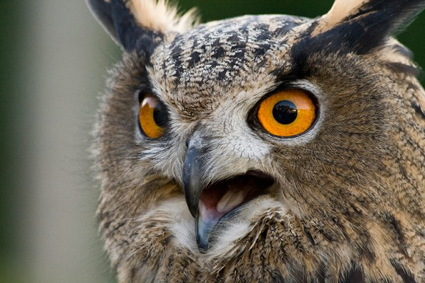 File:Eagle-owl.jpg