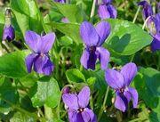 Violet-1-