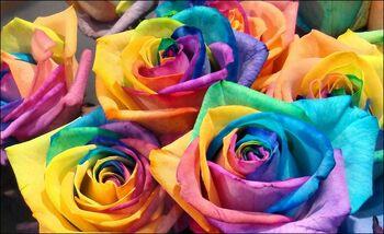 Rainbow-roses02 (1)