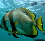 GoldenSpadefish