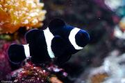 BlackClownfish