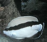 Bandedbutterflyfish