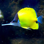 Longnosedbutterflyfish