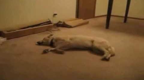 Dog runs into Wall