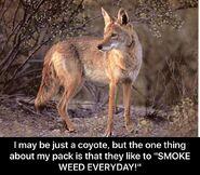 Coyote Smoke Weed Everyday meme