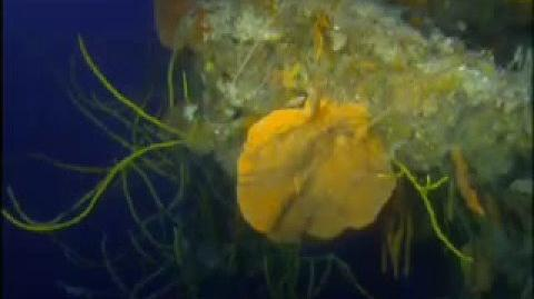 The wonderful world of the sea sponges- The Abyss- BBc Wildlife