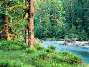 Big Leaf Maple Trees along the Quinault River Quinault Rain Forest Washington