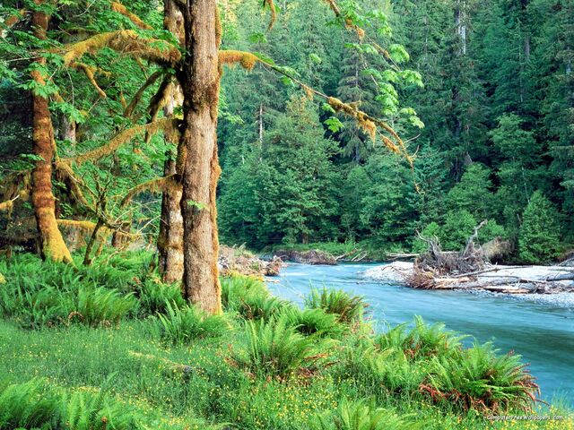 File:Big Leaf Maple Trees along the Quinault River Quinault Rain Forest Washington.jpg