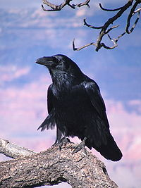 File:200px-Chihuahuan Raven Grand Canyon 1.jpg