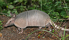 File:220px-Nine-banded Armadillo.jpg