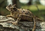 03b lrg horned lizard full