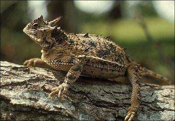 03b lrg horned lizard full
