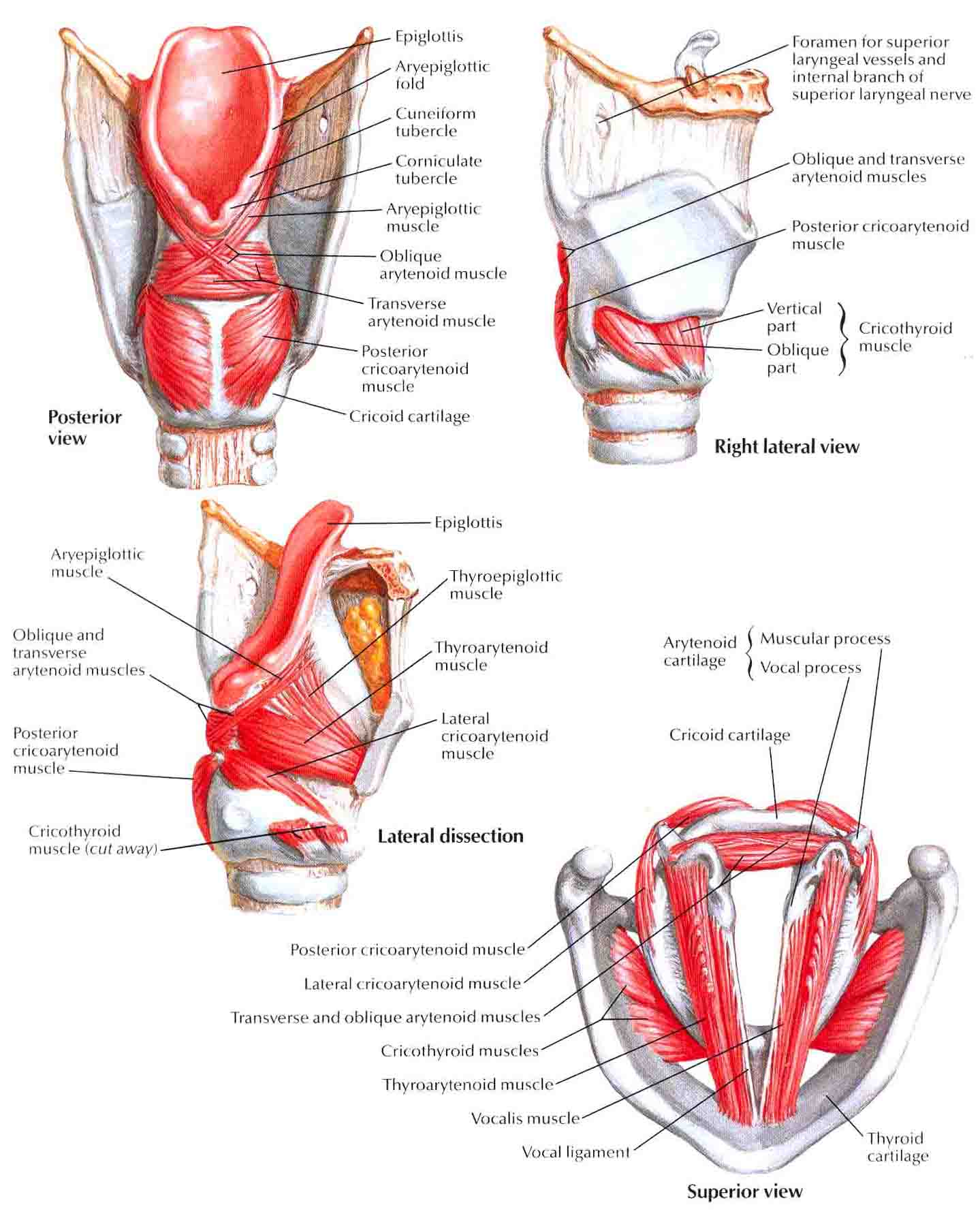 Larynx:Intrinsic muscles | RANZCRPart1 Wiki | FANDOM powered by Wikia