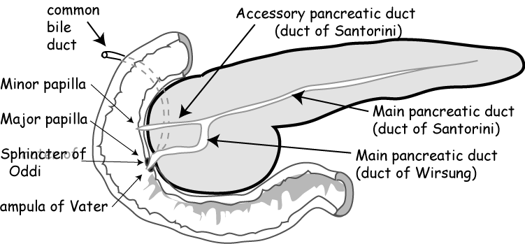 Abdomen:Solid viscus:Pancreas | RANZCRPart1 Wiki | FANDOM powered by ...