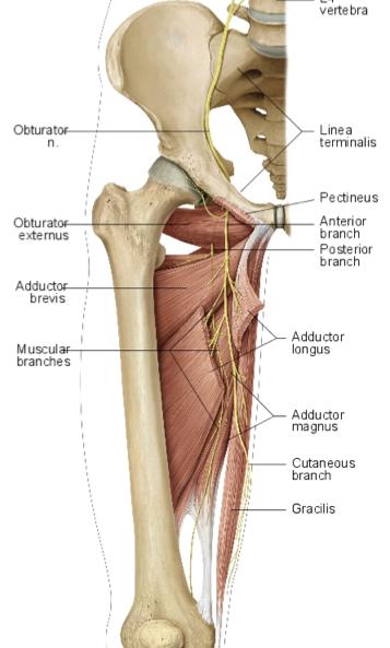 Nerves:Pelvis:Obturator nerve | RANZCRPart1 Wiki | FANDOM powered by ...
