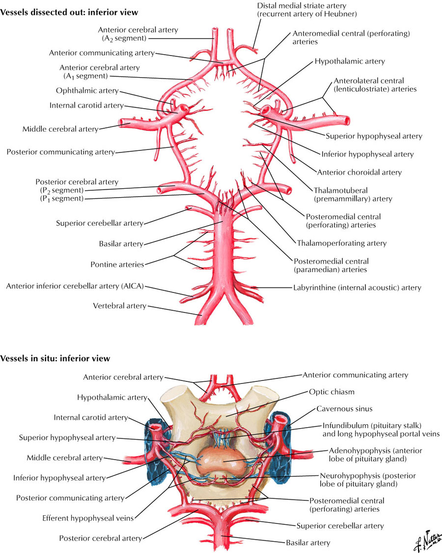 Arterial Supply To Braincircle Of Willis Configuration And Common