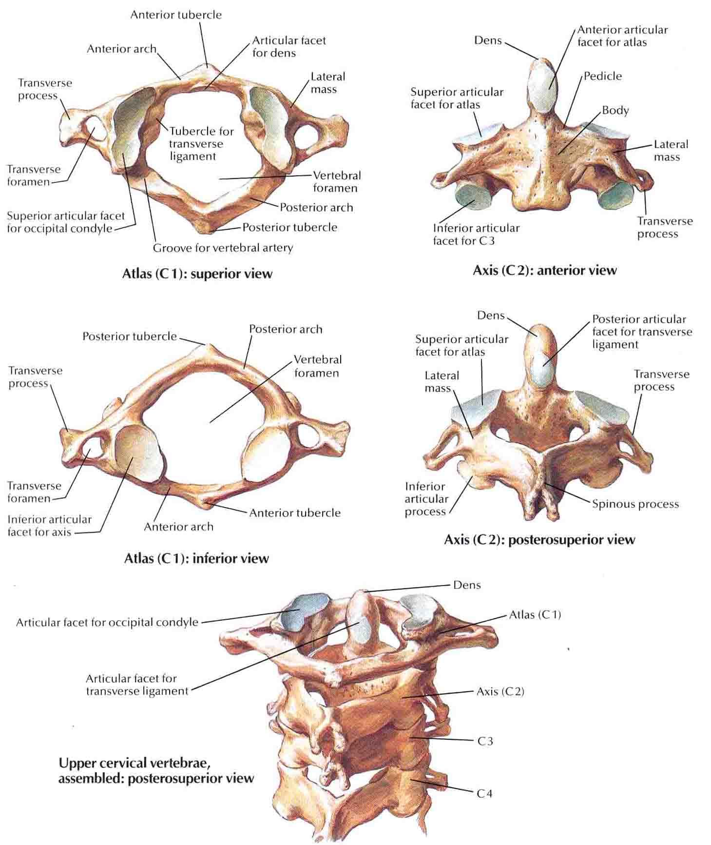 Spine & Back:Bones:Cervical vertebra including atlas and axis ...